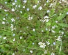 particolare fiori Billeri primaticcio