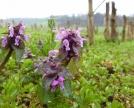 fiori di Lamium purpureum