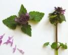 Falsa ortica (Lamium-purpureum)