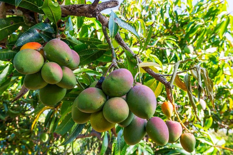 Piante Di Mango: Albero di mango frutta acquista a poco prezzo.