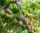 Coltivazione-di-Mango-Mangas