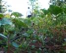 Portulaca-tra-le-coltivazioni-di-Alejandro
